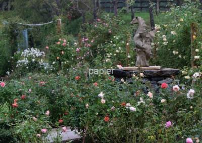 ローザンベリー薔薇